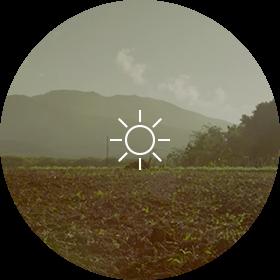 Tobacco plant Climate